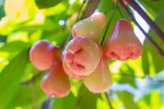 Malabarapfel auf dem Baum Lizenzfreie Stockbilder