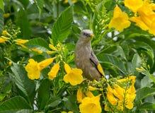 malabarica Castaña-atado de Starling Sturnia en los stans de Tecoma foto de archivo
