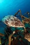 Malabartandbaars in het Rode Overzees stock afbeelding