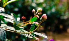 Malabathricum del Melastoma Fotografie Stock Libere da Diritti