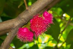 Malaccense syzygium цветка Стоковое Изображение RF
