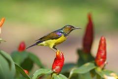 malacensis Brown-throated di Sunbird Anthreptes Fotografia Stock Libera da Diritti