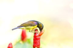 malacensis Brown-throated di Sunbird Anthreptes Immagini Stock Libere da Diritti