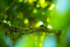 Malacensis de Anthreptes, Sunbird Brown-throated imagens de stock