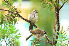 Malacensis de Anthreptes, Sunbird Brown-throated fotos de stock royalty free