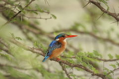 Malachietijsvogel Stock Foto's