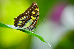 Malachit Butterfly Close Up in Rainforest Stock Image