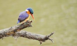 Malachit-Eisvogel Lizenzfreie Stockfotografie