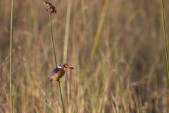 Malachit-Eisvogel auf Reed mit Wanze Stockfoto