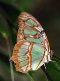 malachit motyla Zdjęcia Royalty Free