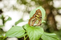 Malachit motylia pozycja na zielonym liściu zdjęcie royalty free