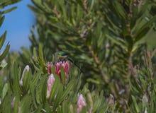 Malachit Sunbird Stockfotos