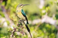 Malachit Sunbird lizenzfreies stockfoto