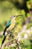 Malachit Sunbird lizenzfreie stockfotos