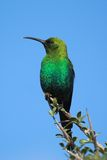 Malachit Sunbird Stockbild