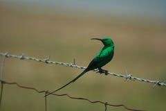 Malachit Sunbird stockbilder