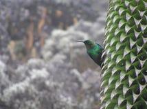 Malachit Sunbird auf riesigem Lobelia, Mt Kilimanjaro lizenzfreie stockfotos