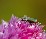 Malachite Beetle Stock Photo