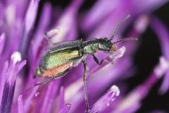 Malachite beetle, Malachius bipustulatus Stock Photo