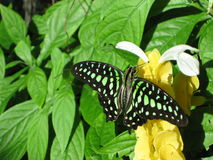 Malachite butterfly. On yellow flower with green leaves in the background Royalty Free Stock Images