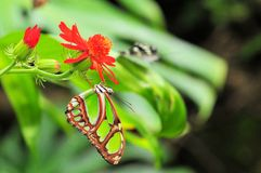 Malachite Butterfly Stock Photography