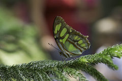 Malachite Butterfly. A Malachite Butterfly is staying on the branch of the tree Stock Photography