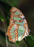 Malachite Butterfly. The Malachite Butterfly (Siproeta stelenes) is native to Central America can be found geographically a little beyond. The wingspan can be up Royalty Free Stock Photos