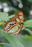 Malachite Butterfly Stock Photo