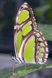 Malachite Butterfly. Profile view Malachite Butterfly-Siproeta stelenes Stock Images