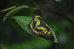Malachite Butterfly with Green and Black Wings Wide. Wide open wings on a green and black malachite butterfly stock photo