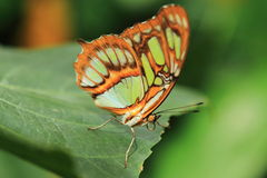 Malachite butterfly. The malachite butterfly on the green leaf royalty free stock photo