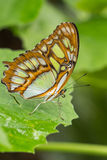 Malachite Butterfly on green plants Royalty Free Stock Images