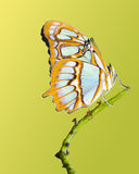 Malachite Butterfly. Isolated on a yellow green background stock photos