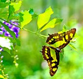 Malachite Butterfly. The Malachite is a neotropical brush-footed butterfly. The malachite has large wings that are black and brilliant green or yellow-green on stock photos