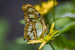 Malachite Butterfly Profile. Profile of the brown and green spotted malachite butterfly, with brown spotted eyes, brown and white striped thorax, sitting on a royalty free stock image