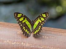 Malachite Butterfly Stock Photography