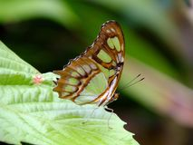 Malachite Butterfly Siproeta stelenes. Malachite Butterfly resting on a leaf stock images