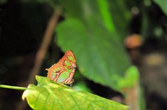 Malachite butterfly (Siproeta stelenes) Stock Photos