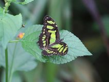 Malachite butterfly, Siproeta stelenes royalty free stock images