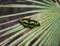 Malachite butterfly, Siproeta stelenes royalty free stock photos