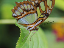 Malachite butterfly Royalty Free Stock Photography