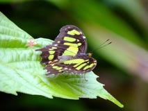 Malachite Butterfly Siproeta stelenes. Malachite Butterfly resting on a leaf stock photos
