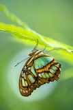 Malachite butterfly (Siproeta stelenes) Stock Image