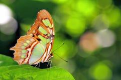 Malachite butterfly (Siproeta stelenes) Stock Photos