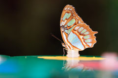 Malachite butterfly Stock Image
