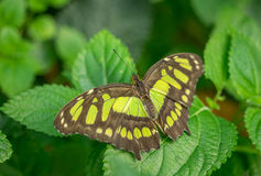 Malachite Butterfly. Siproeta Stelenes, at rest royalty free stock photo