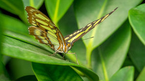 Malachite Butterfly. Siproeta Stelenes, at rest royalty free stock image