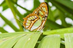 Malachite Butterfly (Siproeta Stelenes). Resting on leaf Stock Image
