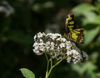 Malachite butterfly Royalty Free Stock Image