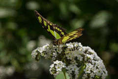 Malachite butterfly Stock Images